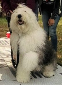 #13 Garth – Garth is 14 but still thinks he is the ambassador of the breed at events and loves attention.