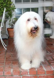 #20 Oliver – Oliver engages people with his charm, silly disposition, and beautiful eyes. He never ceases to amaze his family as a perfect shaggy dog.